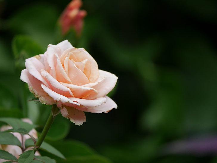 プリンセス オブ インフィニティ(Princess of infinity)の秋花が咲いた。ミニバラ。2020年-012.jpg