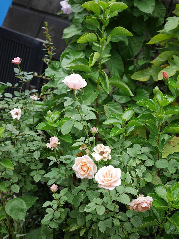プリンセス オブ インフィニティ(Princess of infinity)の秋花が咲いた。ミニバラ。2020年-014.jpg