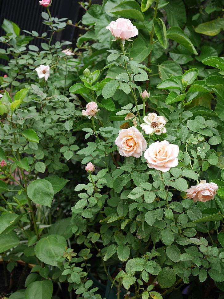 プリンセス オブ インフィニティ(Princess of infinity)の秋花が咲いた。ミニバラ。2020年-015.jpg
