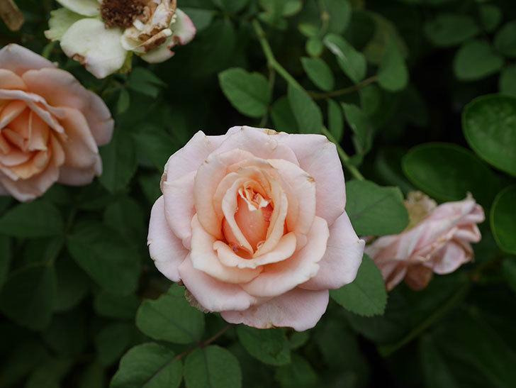 プリンセス オブ インフィニティ(Princess of infinity)の秋花が咲いた。ミニバラ。2020年-016.jpg