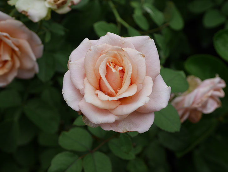 プリンセス オブ インフィニティ(Princess of infinity)の秋花が咲いた。ミニバラ。2020年-017.jpg
