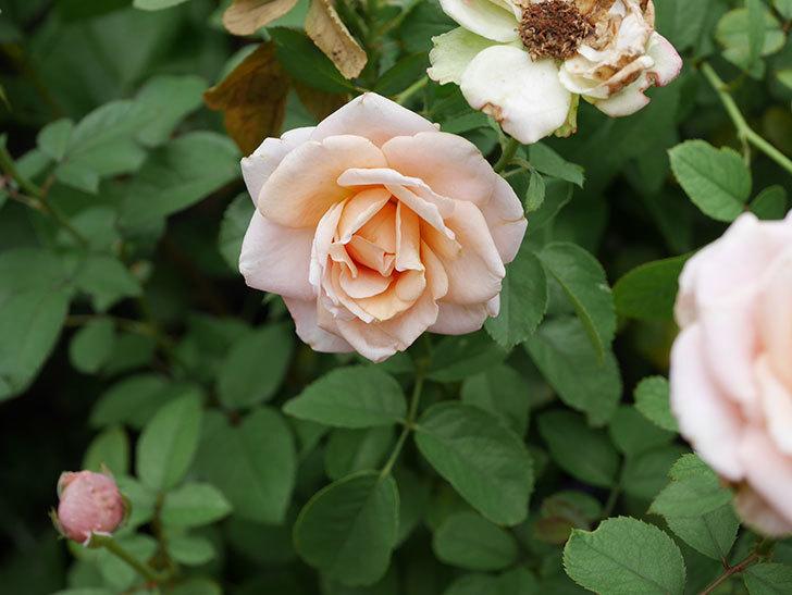 プリンセス オブ インフィニティ(Princess of infinity)の秋花が咲いた。ミニバラ。2020年-018.jpg