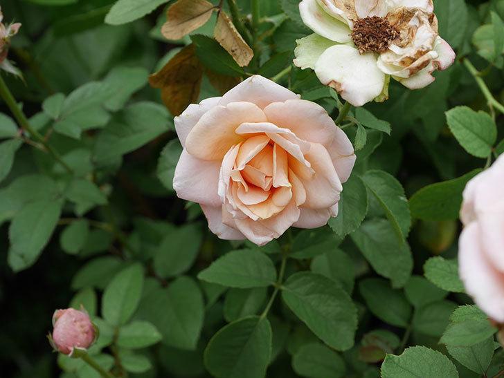プリンセス オブ インフィニティ(Princess of infinity)の秋花が咲いた。ミニバラ。2020年-019.jpg