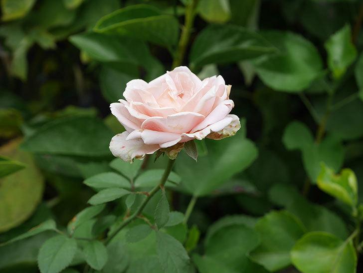 プリンセス オブ インフィニティ(Princess of infinity)の秋花が咲いた。ミニバラ。2020年-020.jpg