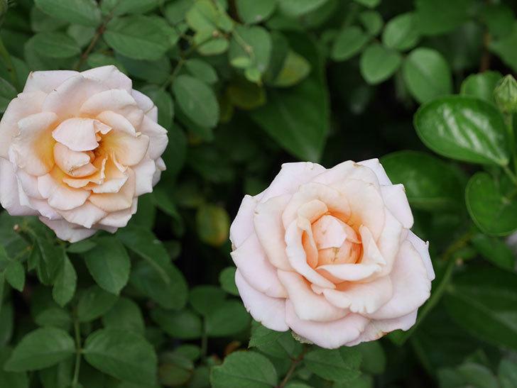 プリンセス オブ インフィニティ(Princess of infinity)の秋花が咲いた。ミニバラ。2020年-021.jpg