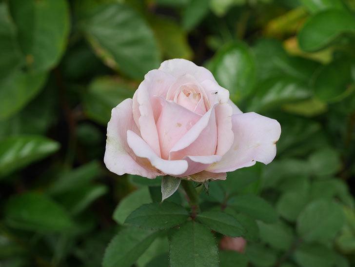 プリンセス オブ インフィニティ(Princess of infinity)の秋花が咲いた。ミニバラ。2020年-022.jpg