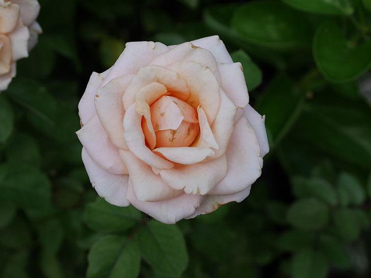 プリンセス オブ インフィニティ(Princess of infinity)の秋花が咲いた。ミニバラ。2020年-023.jpg