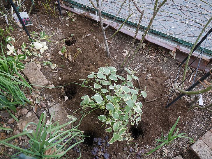 プリンセスミチコ(木立バラ)に寒肥を施した。2019年-1.jpg