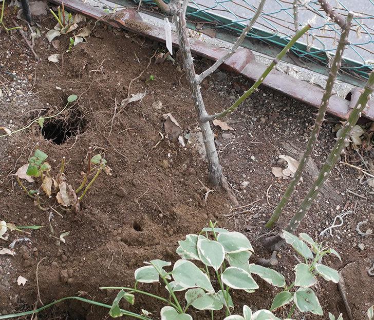 プリンセスミチコ(木立バラ)に寒肥を施した。2019年-2.jpg