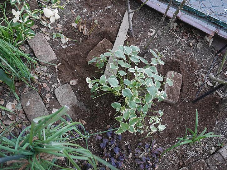 プリンセスミチコ(木立バラ)に寒肥を施した。2019年-3.jpg
