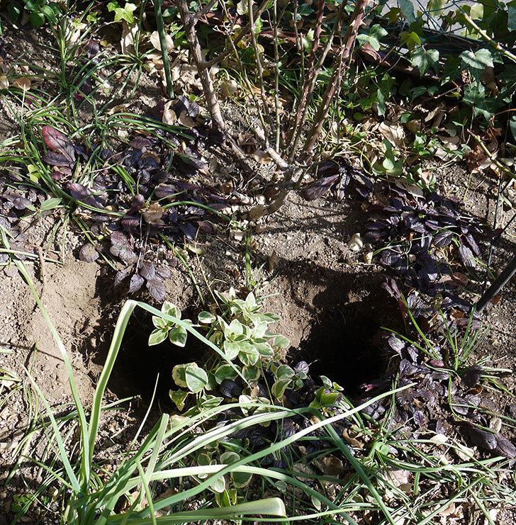 プリンセスミチコ(木立バラ)に穴を掘って寒肥をやった。2017年-1.jpg