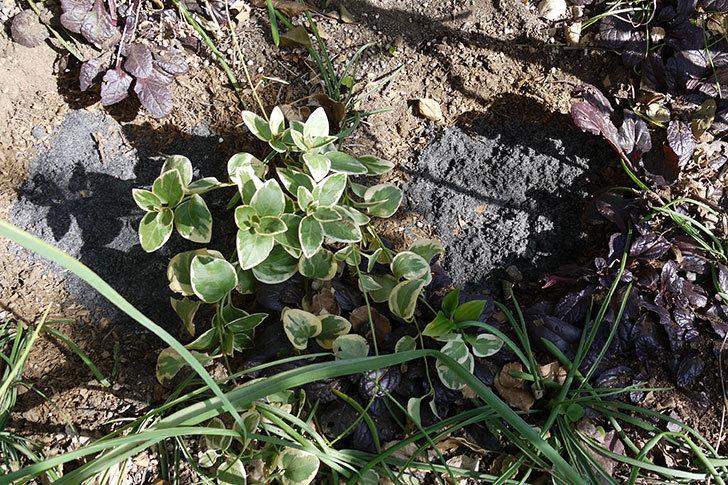 プリンセスミチコ(木立バラ)に穴を掘って寒肥をやった。2017年-10.jpg