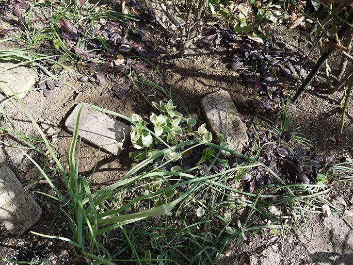 プリンセスミチコ(木立バラ)に穴を掘って寒肥をやった。2017年-11.jpg
