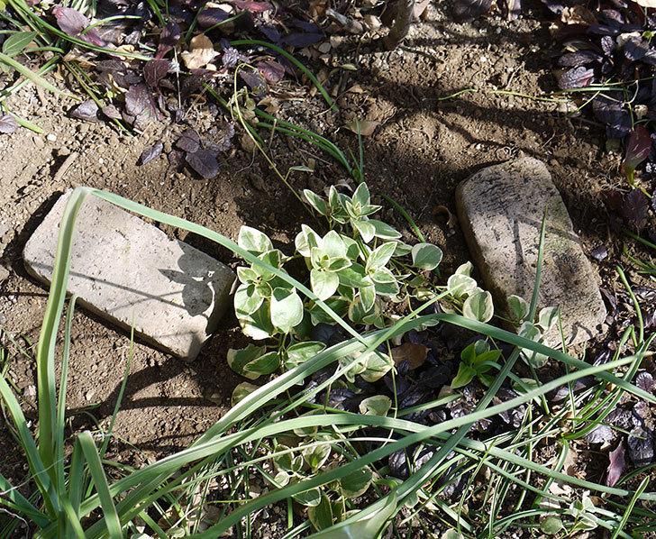 プリンセスミチコ(木立バラ)に穴を掘って寒肥をやった。2017年-12.jpg