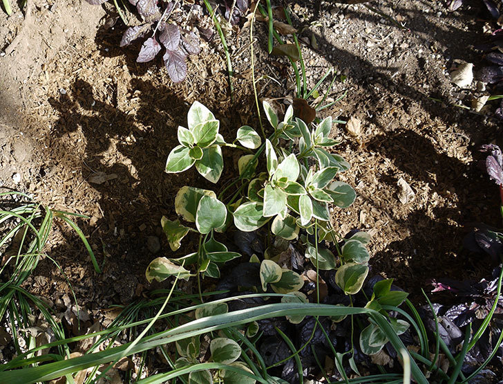 プリンセスミチコ(木立バラ)に穴を掘って寒肥をやった。2017年-8.jpg