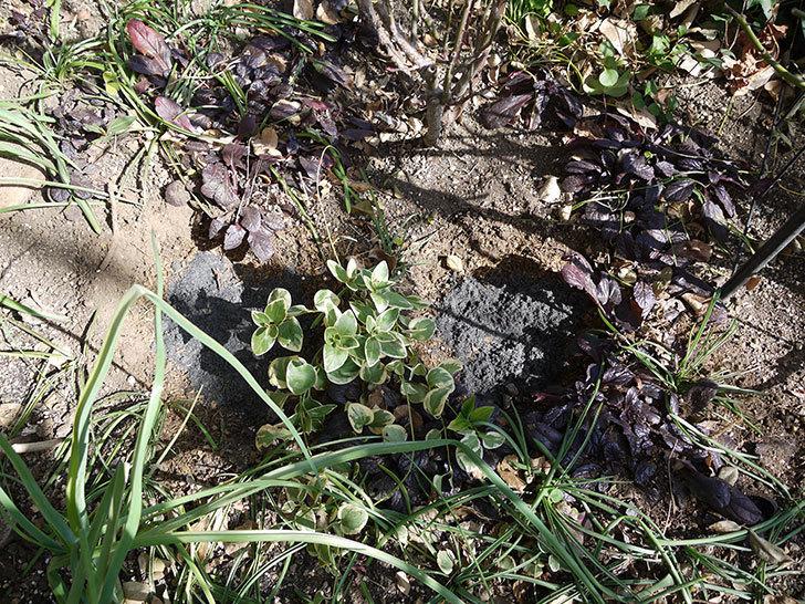 プリンセスミチコ(木立バラ)に穴を掘って寒肥をやった。2017年-9.jpg