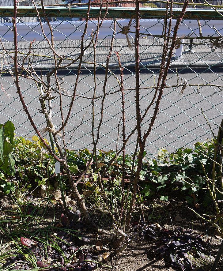 プリンセスミチコ(木立バラ)の冬剪定をした。2017年-2.jpg