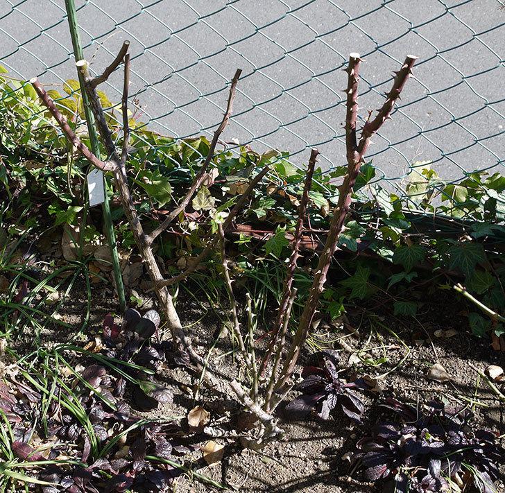 プリンセスミチコ(木立バラ)の冬剪定をした。2017年-3.jpg
