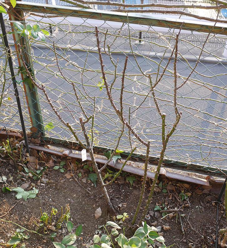 プリンセスミチコ(木立バラ)の冬剪定をした。2019年-1.jpg