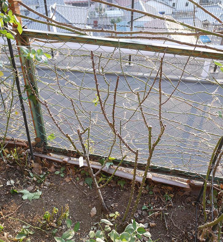 プリンセスミチコ(木立バラ)の冬剪定をした。2019年-4.jpg
