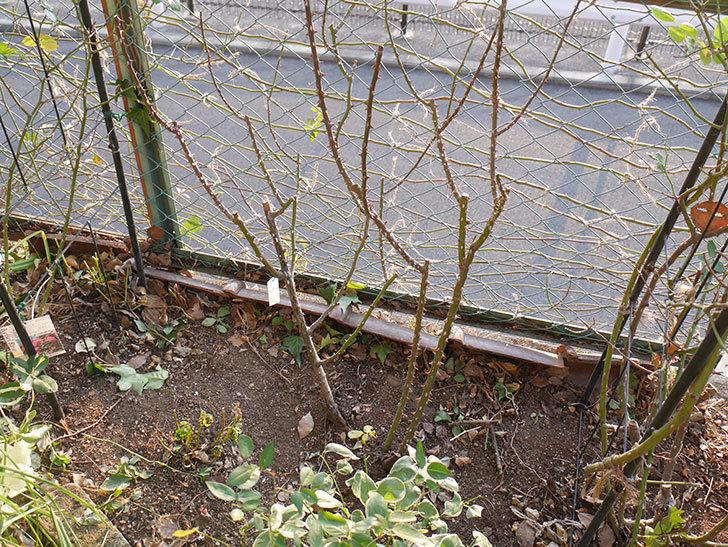プリンセスミチコ(木立バラ)の冬剪定をした。2019年-5.jpg