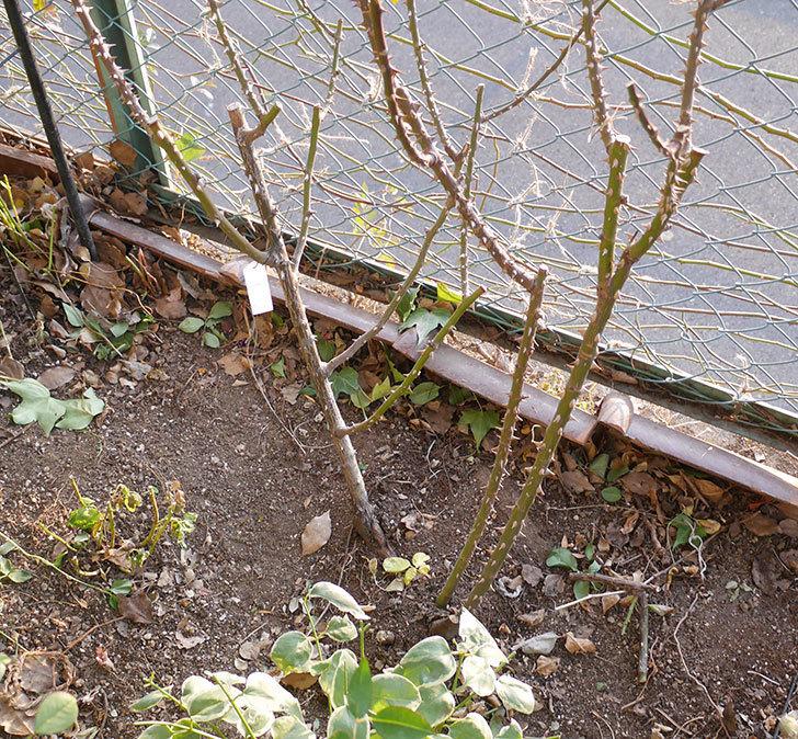 プリンセスミチコ(木立バラ)の冬剪定をした。2019年-6.jpg