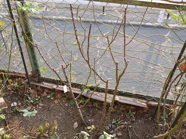 プリンセスミチコ(木立バラ)の冬剪定をした。2019年-7.jpg
