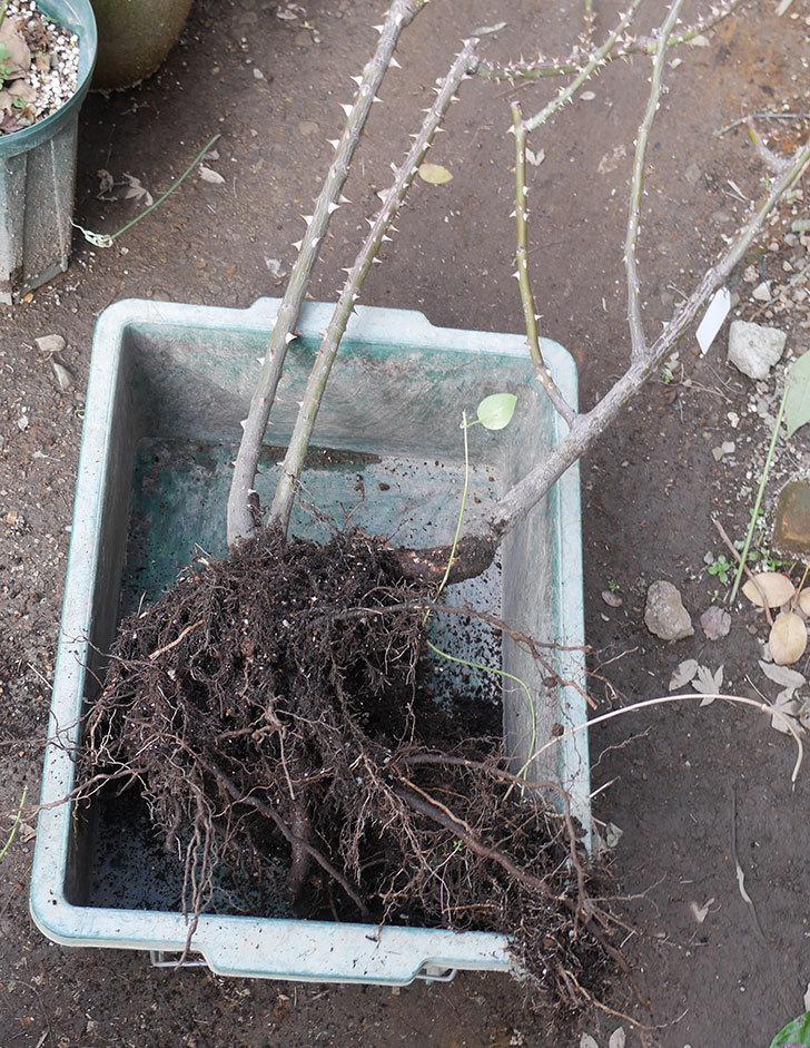 プリンセスミチコ(木立バラ)の地植えを掘りあげて鉢植えにした。2020年-1.jpg