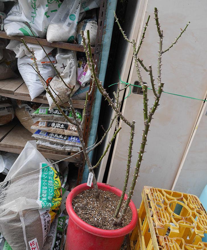 プリンセスミチコ(木立バラ)の地植えを掘りあげて鉢植えにした。2020年-7.jpg