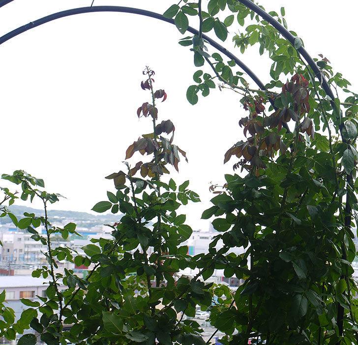 プリンセスミチコ(木立バラ)の夏剪定をした。2016年-3.jpg