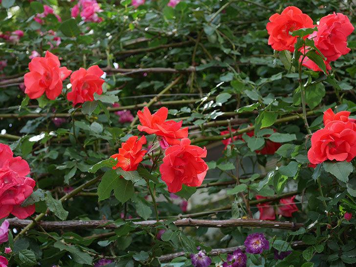 プリンセスミチコ(木立バラ)の花がたくさん咲いた。2019年-1.jpg