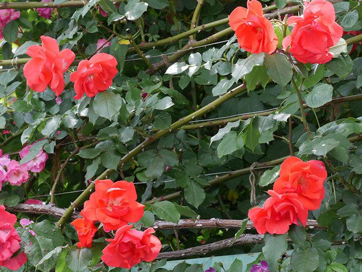 プリンセスミチコ(木立バラ)の花がたくさん咲いた。2019年-11.jpg