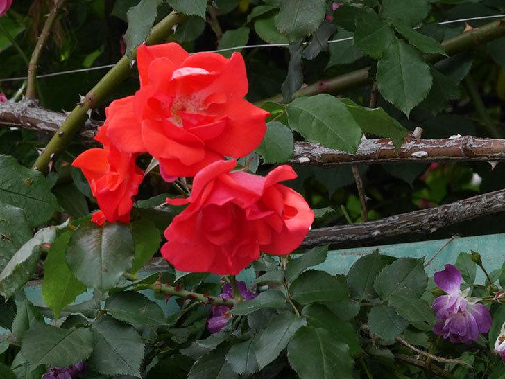 プリンセスミチコ(木立バラ)の花がたくさん咲いた。2019年-12.jpg