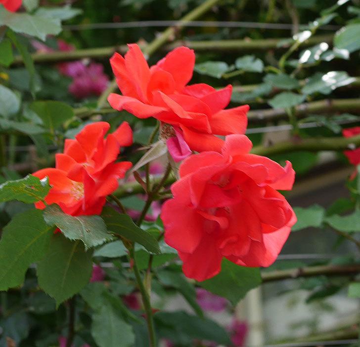 プリンセスミチコ(木立バラ)の花がたくさん咲いた。2019年-2.jpg
