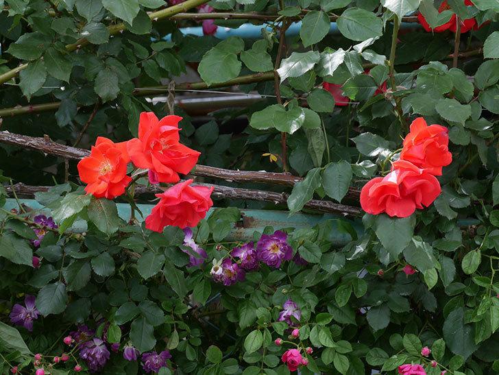 プリンセスミチコ(木立バラ)の花がたくさん咲いた。2019年-6.jpg