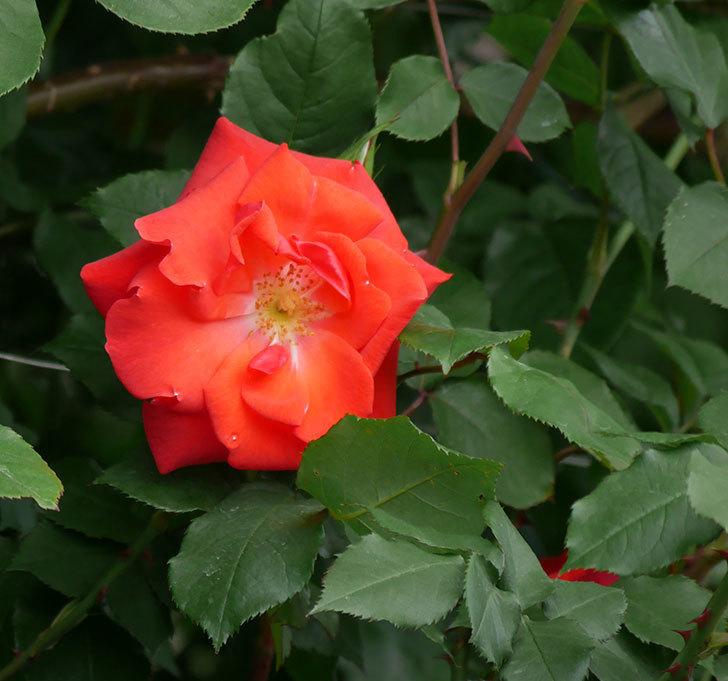 プリンセスミチコ(木立バラ)の花が咲いた。2019年-1.jpg