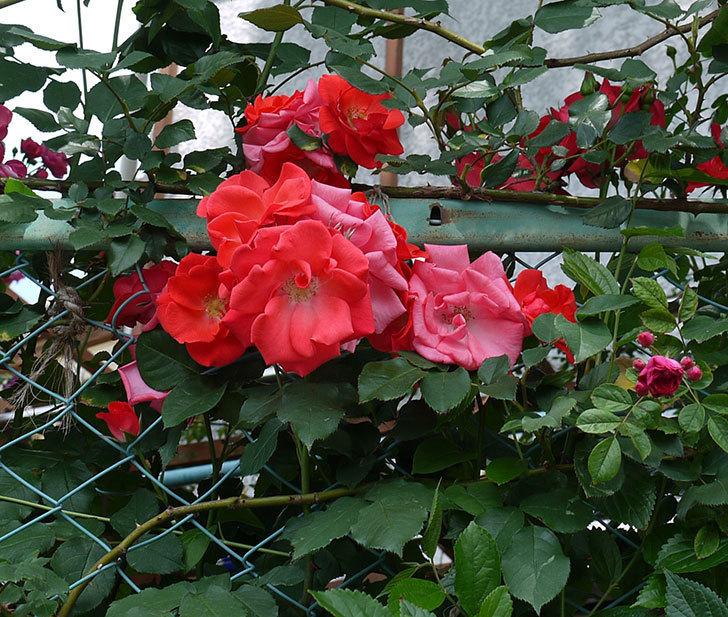プリンセスミチコ(木立バラ)の花が増えてきた。2017年-2.jpg