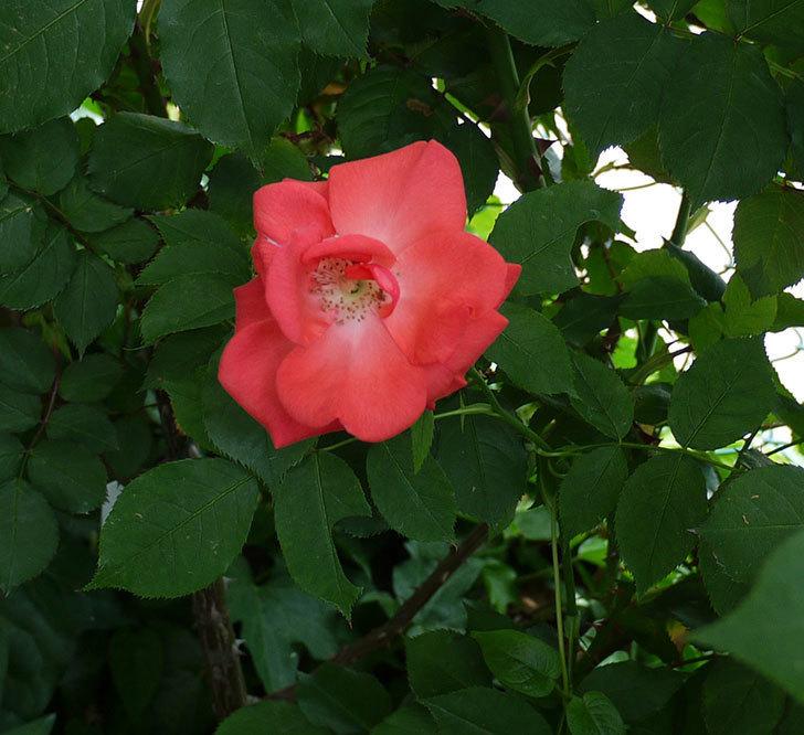 プリンセスミチコ(木立バラ)の花が増えてきた。2017年-5.jpg