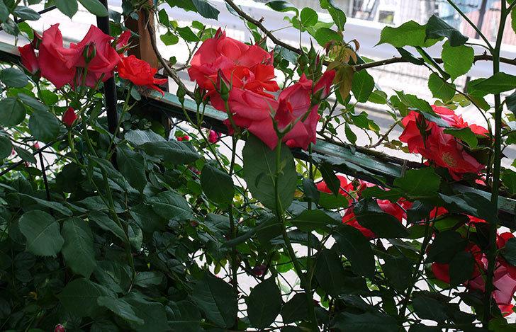 プリンセスミチコ(木立バラ)の花が増えてきた。2017年-8.jpg