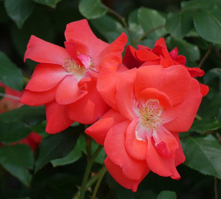 プリンセスミチコ(木立バラ)の花が増えて来た。2018年-4.jpg