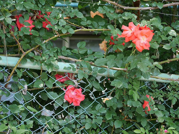 プリンセスミチコ(木立バラ)の花が増えて来た。2018年-5.jpg