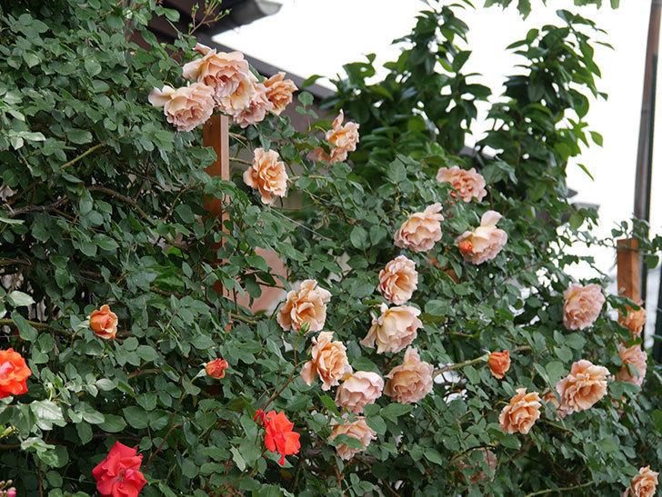 プリンセスミチコ(木立バラ)の花が増えて来た。2019年-2.jpg