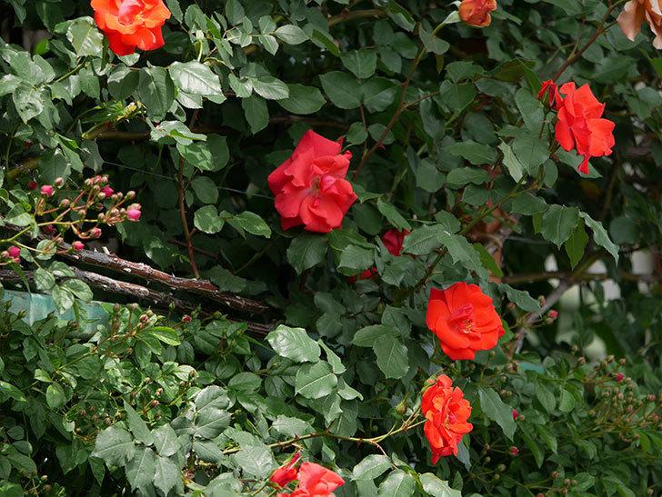 プリンセスミチコ(木立バラ)の花が増えて来た。2019年-3.jpg