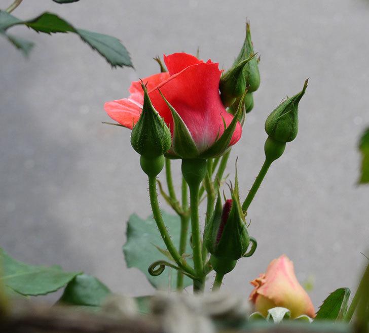 プリンセスミチコ(木立バラ)の花が少し咲いた。2017年-2.jpg