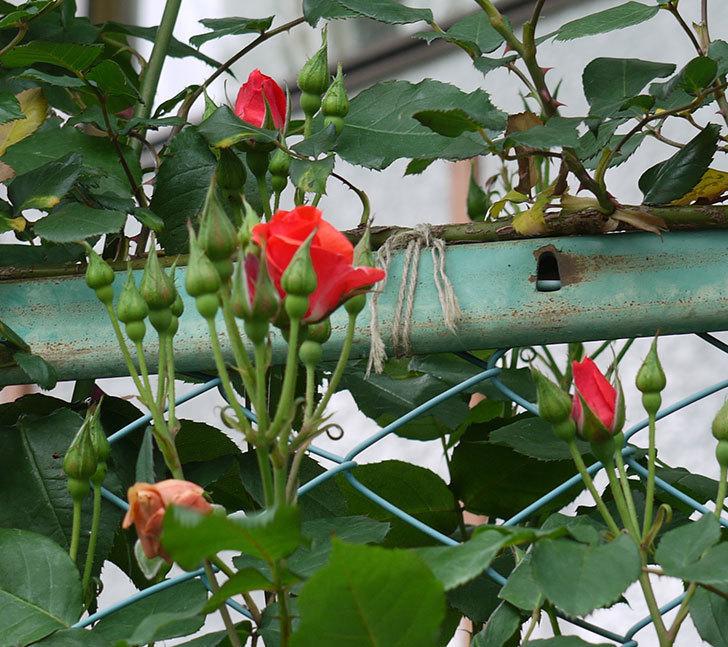 プリンセスミチコ(木立バラ)の花が少し咲いた。2017年-4.jpg