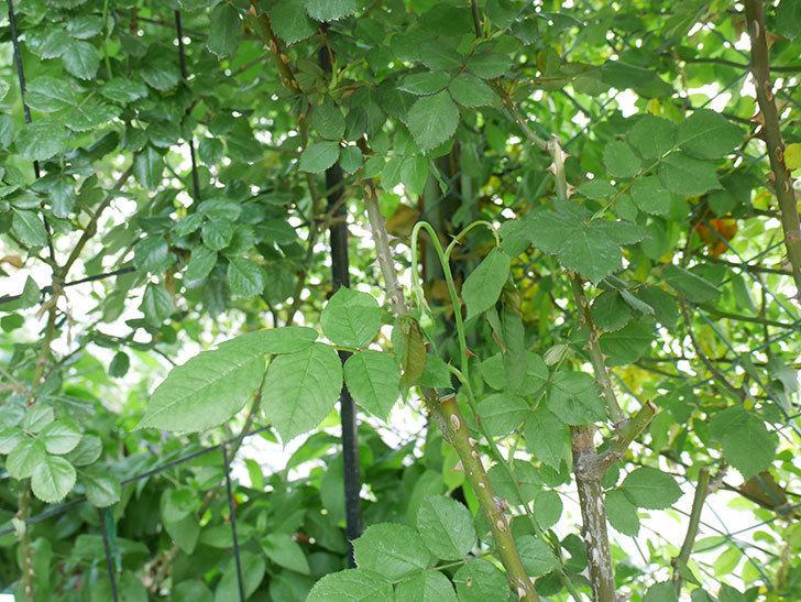 プリンセスミチコ(木立バラ)新枝が1本またバラクキバチにやられて萎れた。2019年-2.jpg