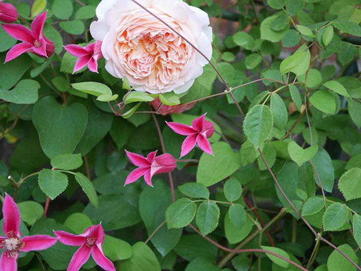 プリンセス・ダイアナ(テキセンシス系-新枝咲き)の花がたくさん咲いた。2020年-11.jpg