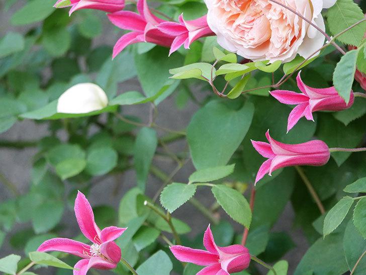 プリンセス・ダイアナ(テキセンシス系-新枝咲き)の花がたくさん咲いた。2020年-2.jpg