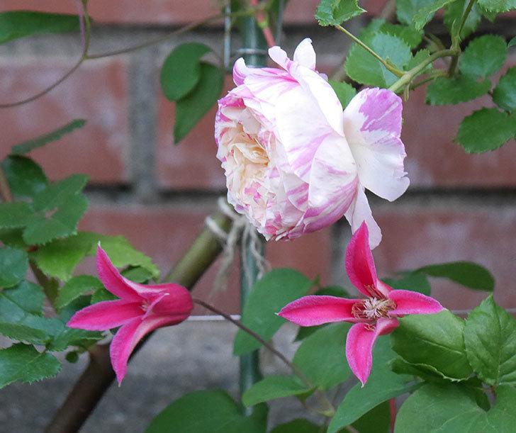 プリンセス・ダイアナ(テキセンシス系-新枝咲き)の花がたくさん咲いた。2020年-3.jpg