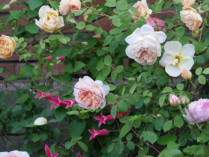 プリンセス・ダイアナ(テキセンシス系-新枝咲き)の花がたくさん咲いた。2020年-5.jpg